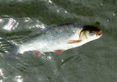 04 2 vissen 2016 04 21 voorn