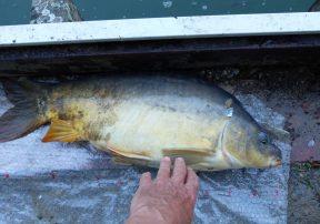 13 2 vissen 2017 08 20 karper 67cm 10kg