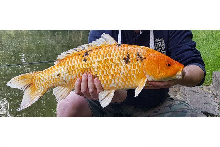 Oranje koikarper 2018 05 27