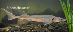 Siberische steur 800x350